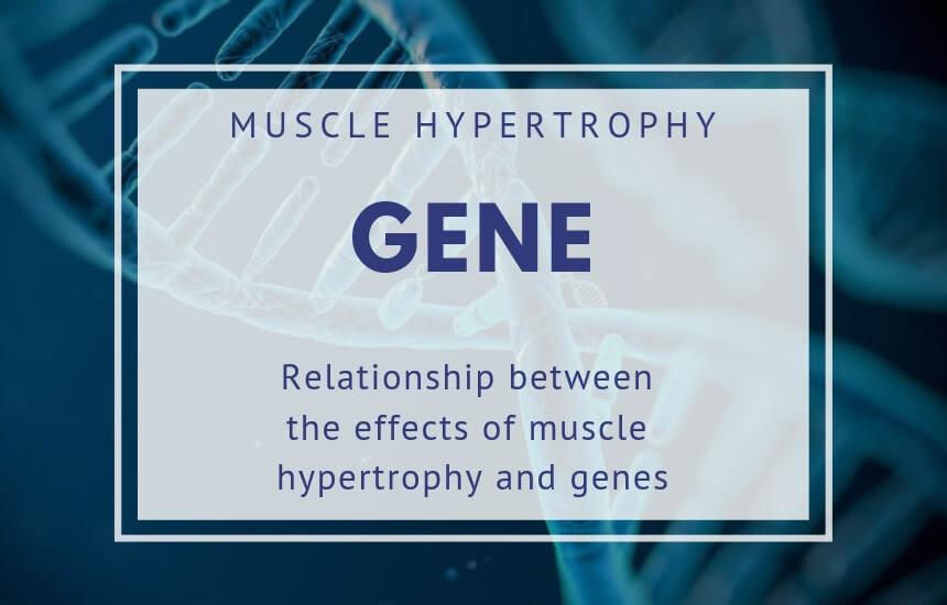 筋肥大の遺伝子
